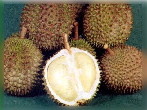 ogie mahapatih mengenal manfaat durian