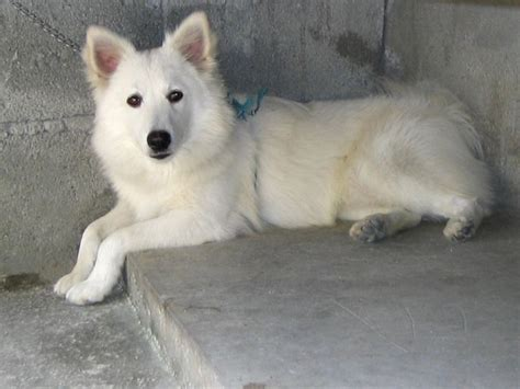 What Can I Give For Shedding by 100 Best Images About Japanese Spitz Dogs On