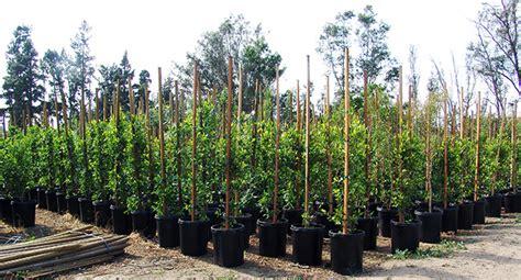 tabares nursery trees shrubs palm trees fruit trees