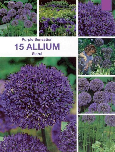 Pflanzen Für Wintergarten 2067 by Zierlauch Purple Sensation Allium Garten Zierlauch