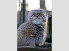 Best 25+ Pallas's cat ideas on Pinterest | Wild cat breeds ... Fluffiest Kittens In The World