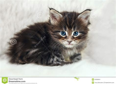 Dress Eye Catz small maine coon with blue on white fur stock image