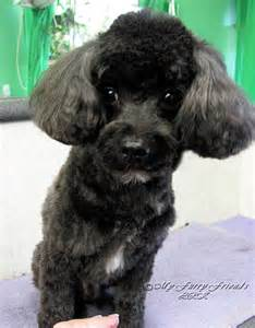 different styles of hair cuts for poodles toy poodle haircuts pictures hairstylegalleries com