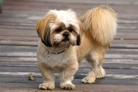 lhasa apso haircut styles lhasa apso grooming styles photos of lhasa apso styles dog