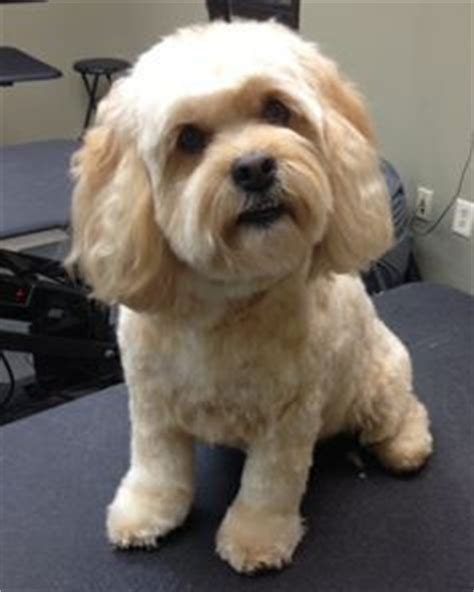 cockapoo haircuts before and after 44 best grooming cockapoos images on pinterest cockapoo