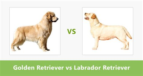 difference between labradors and golden retrievers compare golden retriever vs labrador retriever difference between golden retriever