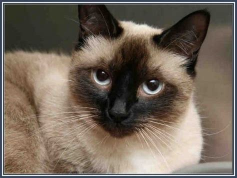 and cat mix mixed breed siamese himalayan kittens himalayan siamese cat happy birthday