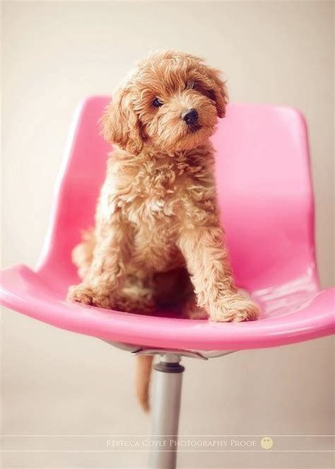 doodle pink puppy 9 best images about 2014 goldendoodle puppies on