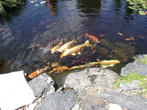 pond aquascape acclimating pond fish with aquascape s pond detoxifier c