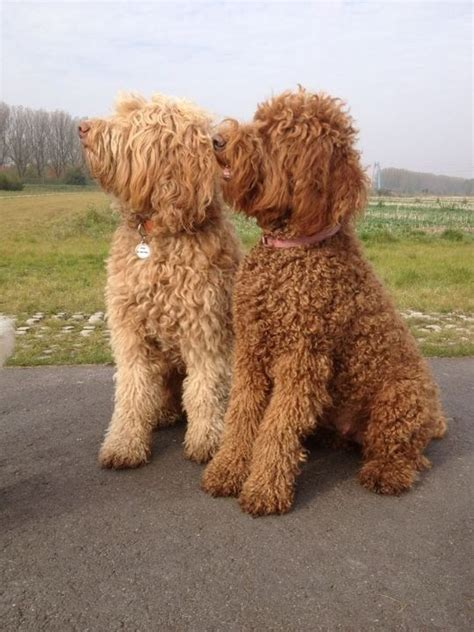 mini goldendoodles louisiana 19 best apricot australian labradoodles images on