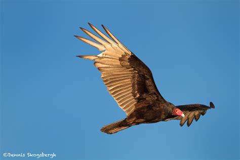vultures dennis skogsbergh photographydennis skogsbergh