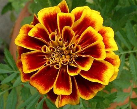 Tanaman Hias Bunga Marigold Berkualitas daftar nama bunga lengkap beserta gambar dan penjelasannya