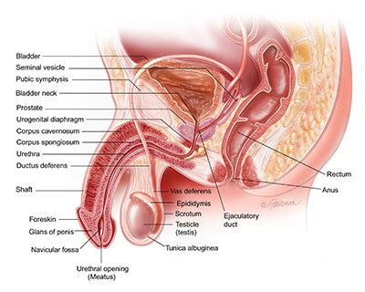 urology care foundation what is penile cancer?
