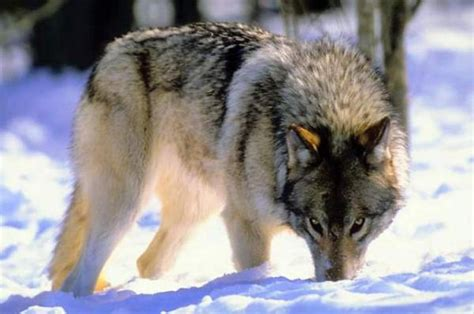 alaskan wolf save the alaskan wolves images alskan wolf hd wallpaper and background photos 6850621