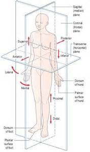 Orientation Direction Planes And Sections by Anatomical Position Showing The Cardinal Planes And