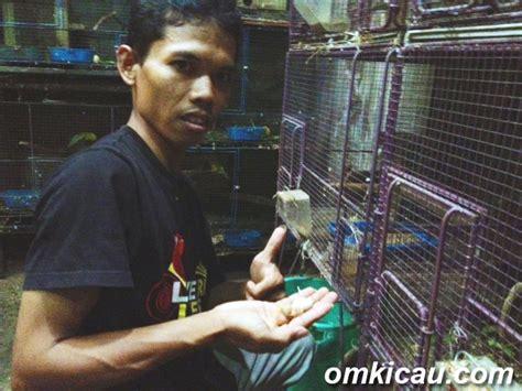 Pakan Lolohan Perkutut muda gunawan kembangkan opaline non klep om kicau