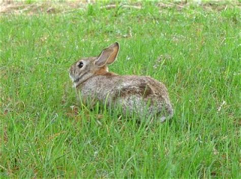 all about animal wildlife: wild rabbit information and