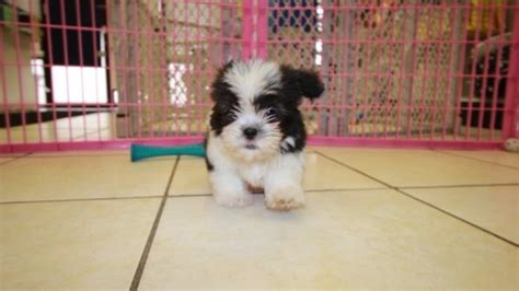 malti tzu puppies for sale affectionate malti tzu puppies for sale in atlanta ga mix of maltese and shih