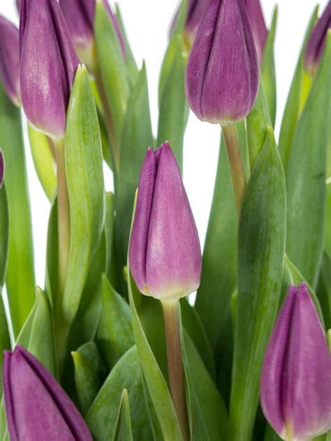 winterharte pflanzen garten 864 die besten 17 ideen zu lila tulpen auf sch 246 ne