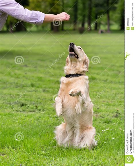 golden retriever obedience sitting up begging images