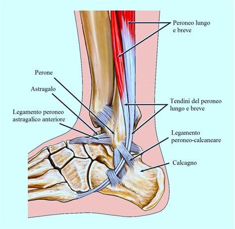 tendinite caviglia interna anatomia di tibia perone e ossa tarso