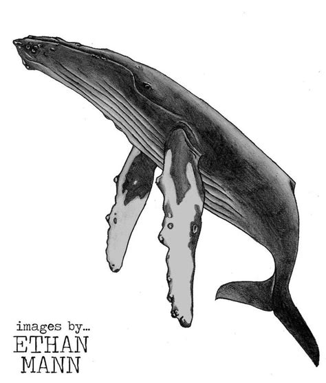 humpback whale tattoo designs humpback whale design by emann14 on deviantart