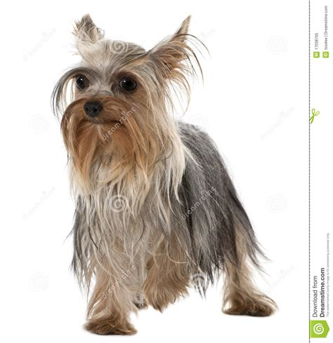 picture of one year old yorkie with puppy cut yorkshire terrier 1 year old standing royalty free stock