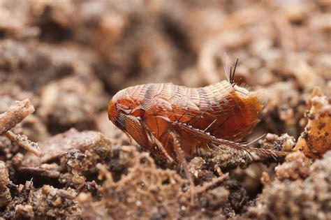Backyard Flea flea bites vs bed bug bite jan 2018 which is it