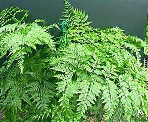 Skrup Burung Setengah Bulat No 8 zona bioloverz botani tumbuhan tinggi