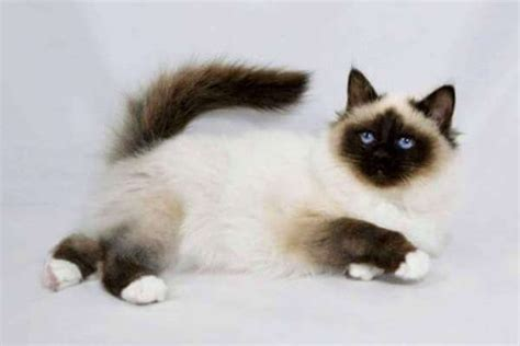 sagrado de birmania  gato birmano caracter