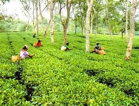 tea gardens in bangladesh beautiful sylhet tea gardent