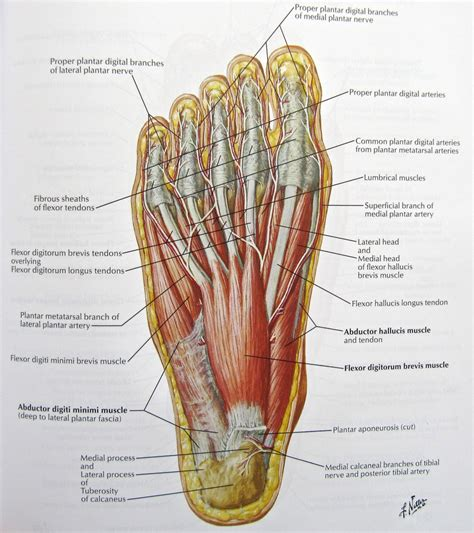 nerves of the human diagram foot nerves anatomy human anatomy diagram