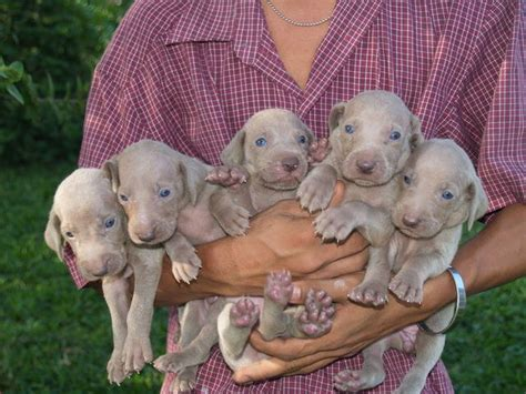 weimaraner puppies rescue puppies for adoption malaysia 2015 personal