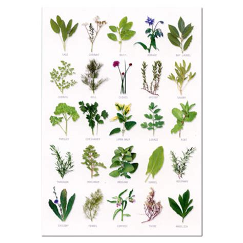 identification of herbs wildr uploads tree leaves identification poster 1285161313 jpg