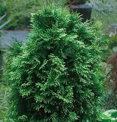 Arborvitae Patio Patio Screening With Knock Out Roses Thuja Occidentalis