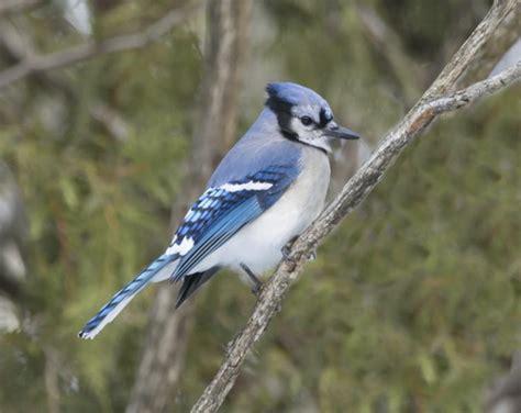los azulejos aves hermosas vix
