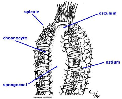 diagram of sponge sponges porphyria at moravian college studyblue
