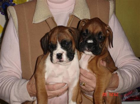 white boxer puppies for sale boxer dogs for sale photograph boxer puppies for sale flashy