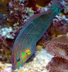 reef safe saltwater fish amp saltwater reef safe wrasses for sale online