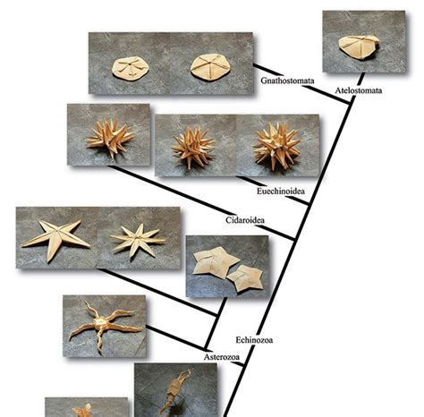 Origami Biology - the echinoblog the origami echinoderm tree of