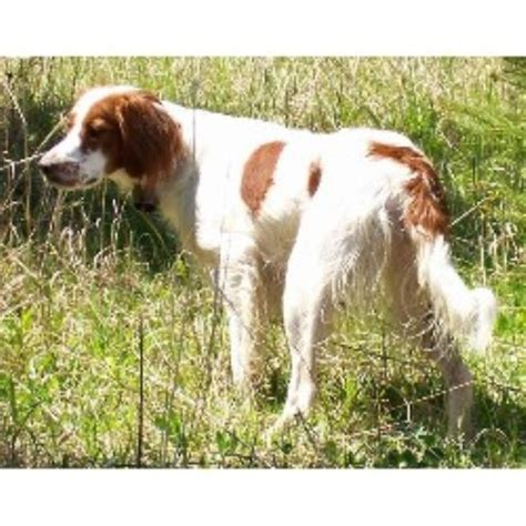 setter puppies mn and white setter breeders in minnesota freedoglistings