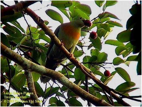 Teko Fancy Kuning 12 Cm large green pigeon merpati hias fancy pigeon