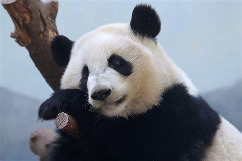 panda fond decran hd arriere plan  id