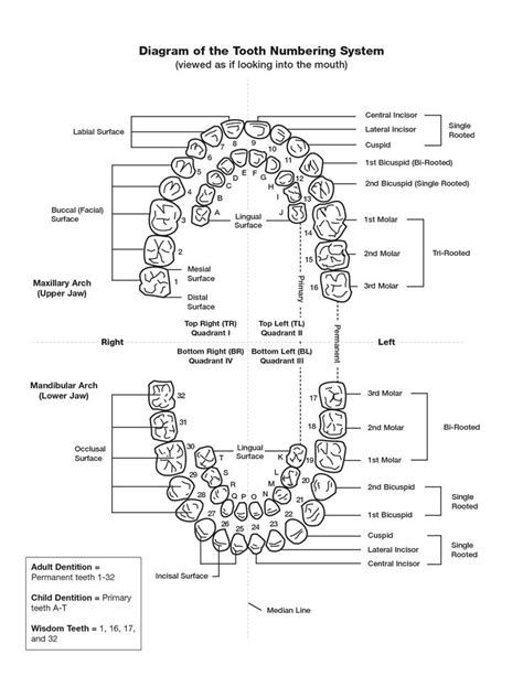 dental chart template tooth numbering chart pdf scope of work template
