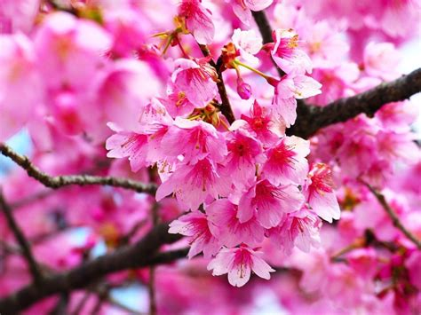 gambar bunga sakura pink merah muda beautiful flower