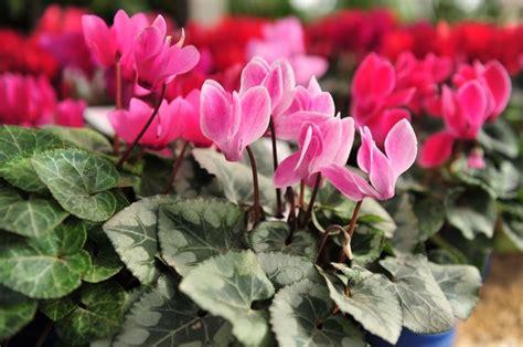 fiori da balcone perenni fiori perenni piante perenni caratteristiche dei fiori