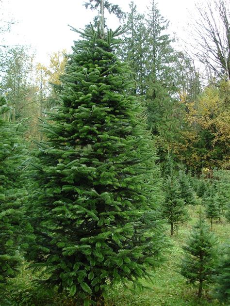 nordmann fir coniferous forest