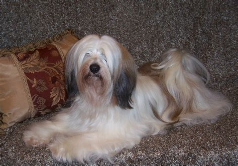 pics of long hair dark browm terriers domani tibetan terriers our dogs photo gallery album 6