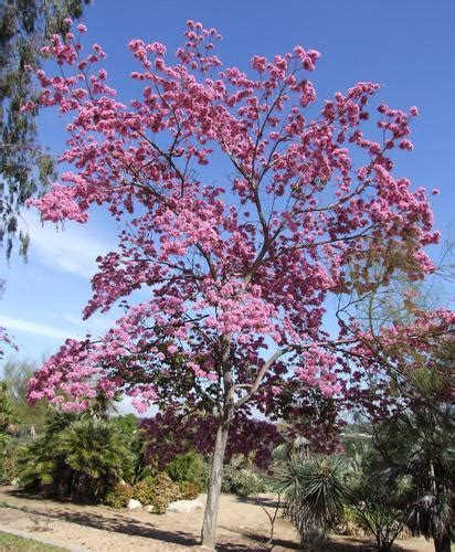 road side trees tabebuia rosea tree manufacturer  anand