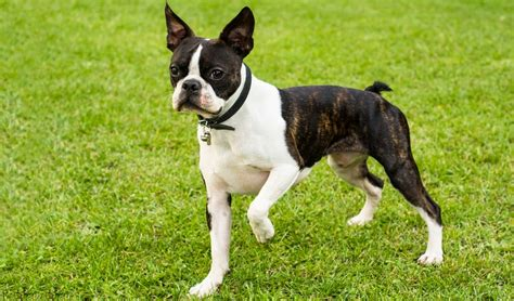 best food for boston terrier puppy best food for boston terriers 9 vet recommended brands